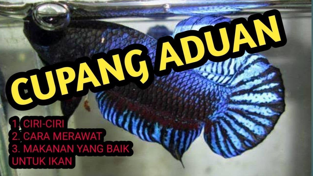 Ciri Ciri Ikan Cupang Aduan Cara Merawat Ikan Cupang Aduan Dan Makanan Ikan Cupang Aduan Youtube