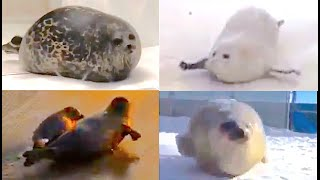 The BOUNCIEST of SEALS | A fat bouncing seal compilation