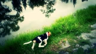 Beagle Harrier Jack