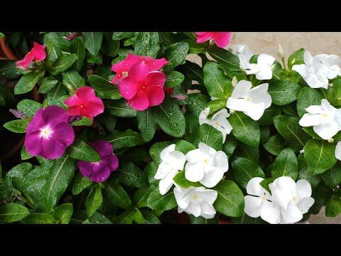 Some Secret Tips of Desi Vinca Flower | Care of Vinca Flower