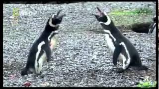 خيانة أنثى البطريق لزوجها
