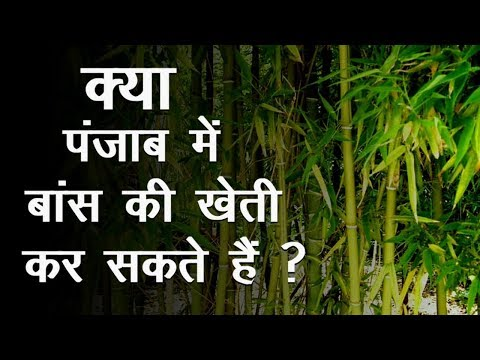 किसान जान ले बांस की खेती के बारे में   Bamboo Farming क्या Punjab में कर सकते है या नहीं
