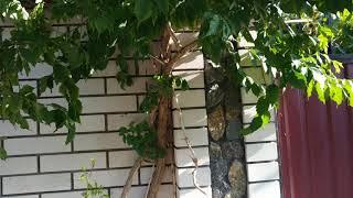 Текома -  красивый кустарник-лиана,который украшает сад целое лето.