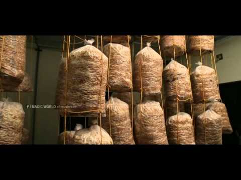 MUSHROOM CULTIVATION IN KERALA /KOON KRISHI /MILKY MUSHROOM/PAALKOON /MUSHROOM FARMING