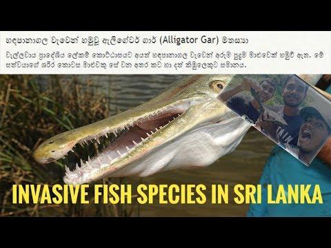 Invasive Fish Species In Sri Lanka | Alien Invasion