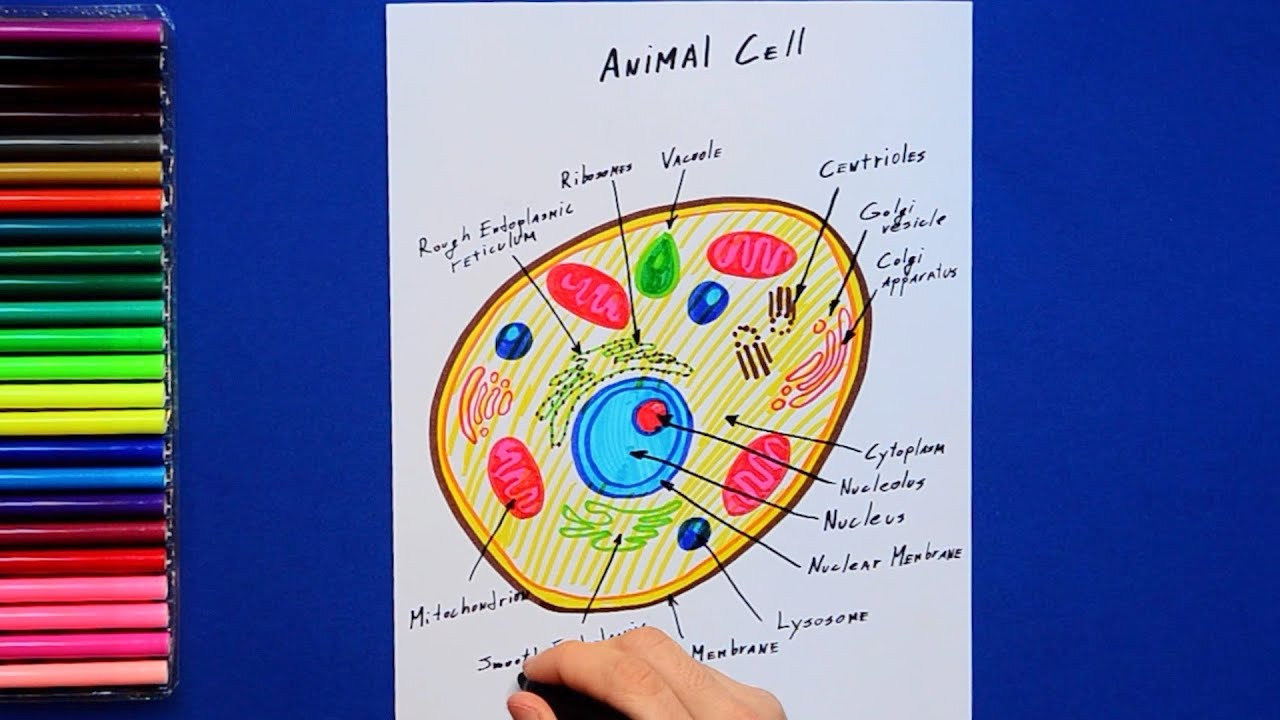 how to draw and color an animal cell labeled science diagram [ 1280 x 720 Pixel ]