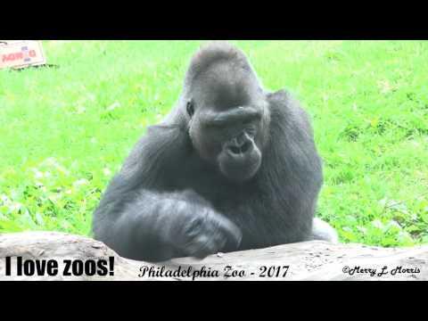 Philadelphia Zoo Gorillas Kuchimba And Louis Interacting In Outdoor Area