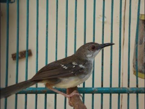 Download Lagu Burung Ciblek Gacor Juara Nasional