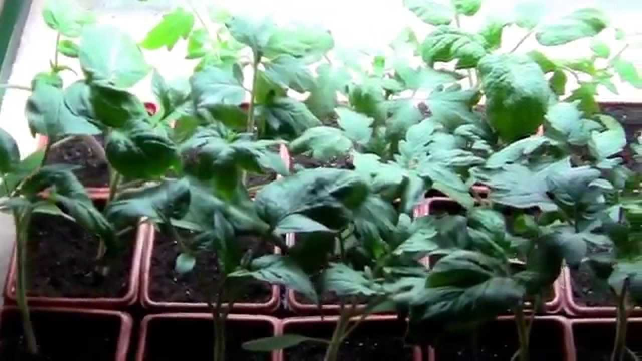 Tomato Plants Started From Seeds Indoors Under A Grow Light