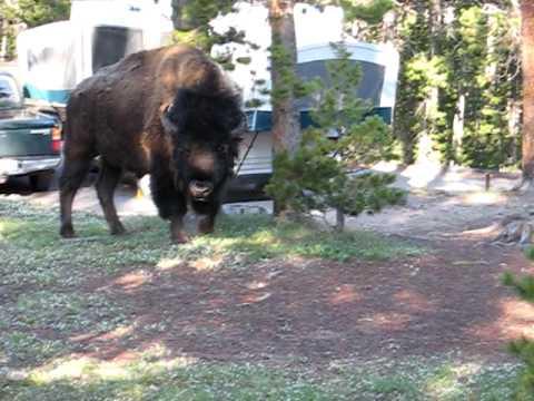 Yellowstone Bison Visit