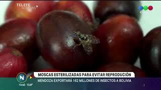MENDOZA EXPORTA MOSCAS ESTERILIZADAS A BOLIVIA