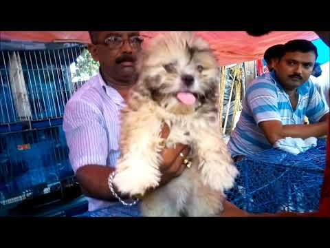 Cute Lhasa Apso Puppy For Sale At Galiff Street