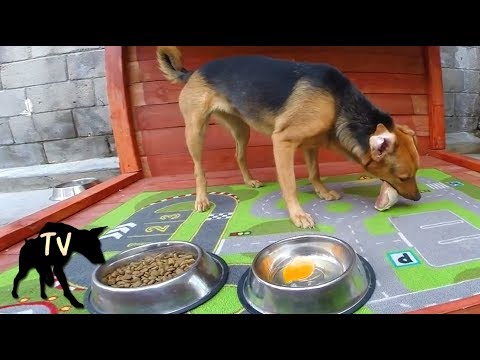 Kibble VS Raw Meat Challenge Compilation