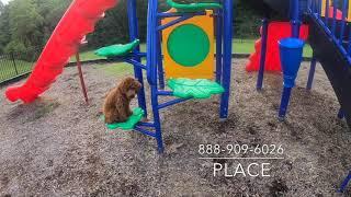 "Mini Poodle ""Lulu"" l Amazing Transformation l Hampton Roads Dog Trainers"