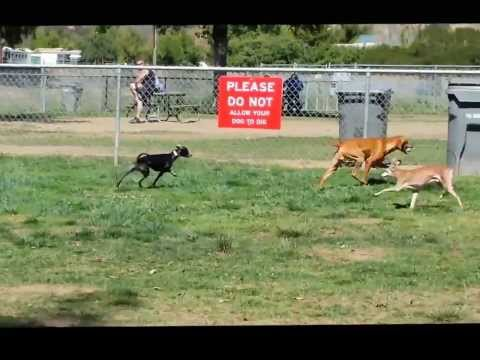 Emma Italian Greyhound Running at Dog Park