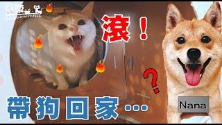 【豆漿 - SoybeanMilk】帶狗回家 豆漿爆氣揍人! ft.柴犬Nana