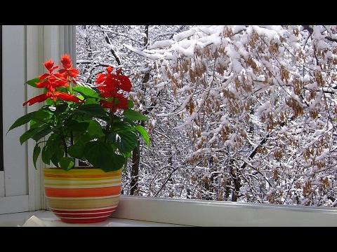 сальвия цветок фото и уход