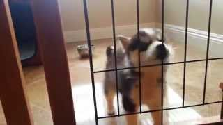 Siberian Husky Puppy Barking And Howl