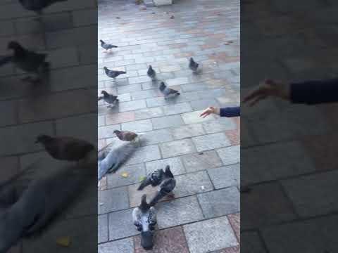 # Pigeon's Feedings