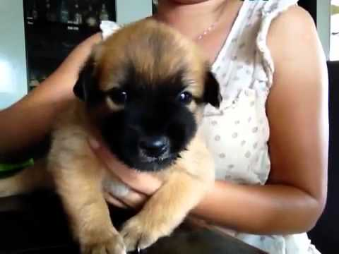 Month Old Harrier Puppy Www Picsbud Com