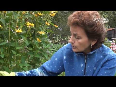 Как выкопать гладиолусы осенью
