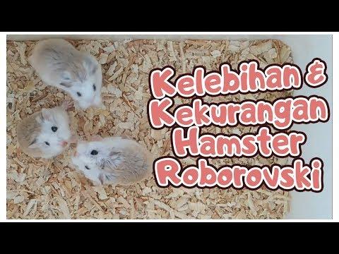 Kelebihan Dan Kekurangan Hamster Roborovski