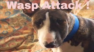 Bad Atitude Wasp Attacks + Beats My Dog Up !!! English Bull Terrier Swollen Head