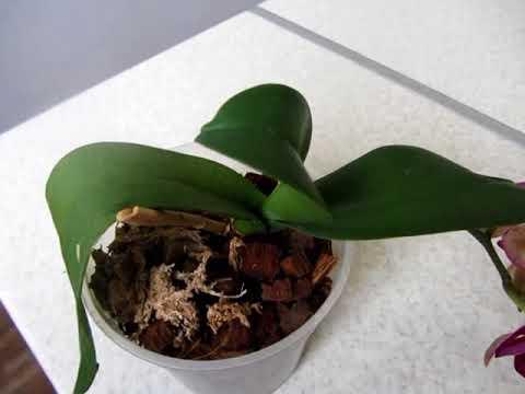 Листья орхидеи сморщились, теряют тургор