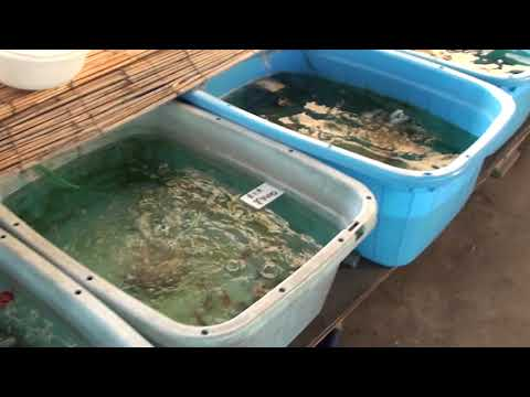 Goldfish Farm !
