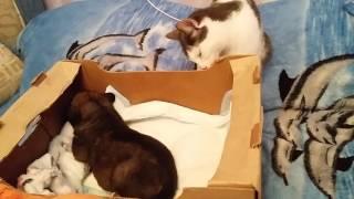 Знакомство кошки с щенком))