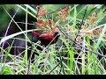 pipit, burung mungil pemakan biji-bijian