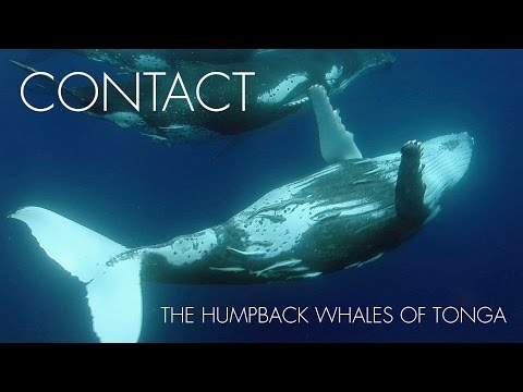Contact - The Humpback Whales of Tonga