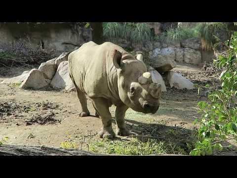 #9 Nov 2017 Black rhino at Tennoji zoo, Osaka, Japan