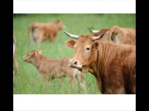 LIMOUSINE razza francese da carne