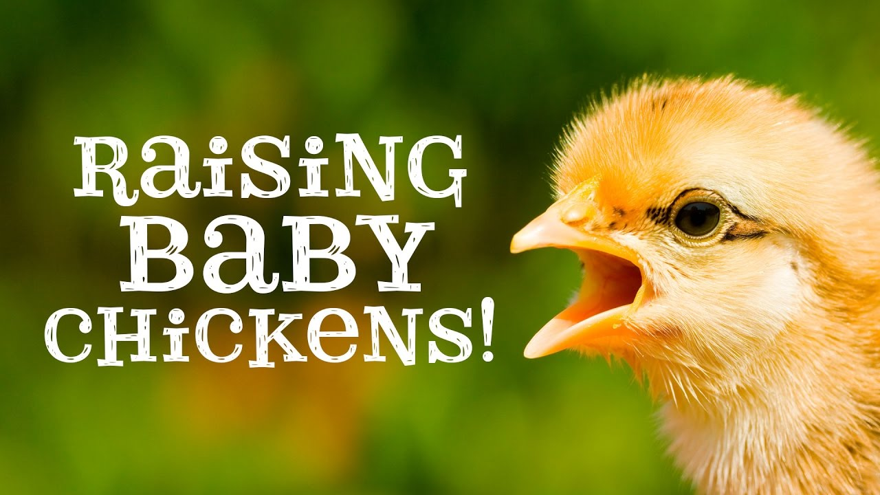 First Few Days and Weeks With Baby Chicks