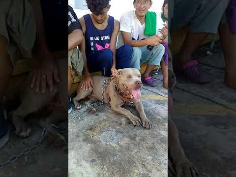 bolillo el perro migrante