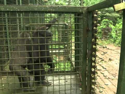 Cameroon's captive gorillas hope for return to the wild