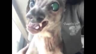 funny dog!!!Самая смешная собака в мире!!! Смотреть всем!!!! 2015