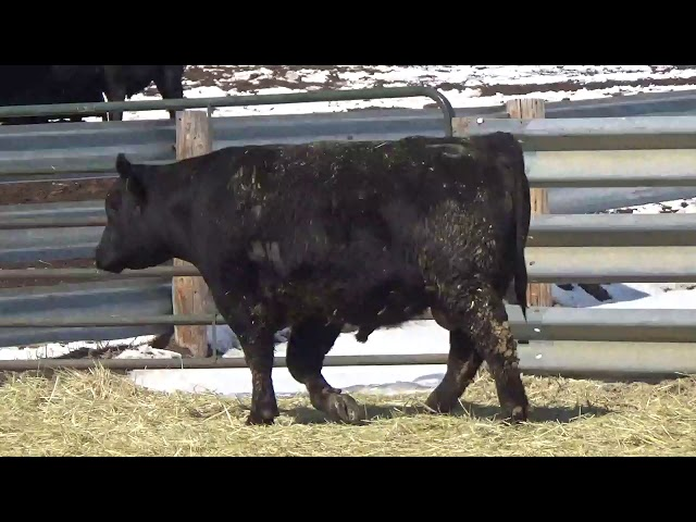Connealy Angus Lot 425