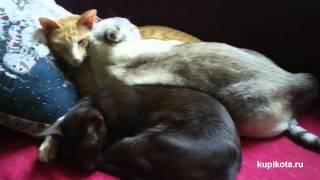 Ориентальная кошка - породы кошек