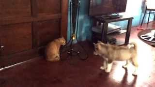 """Baby Siberian Husky And Pinoy Cat, """"rivalry And Jealousy Continues"""
