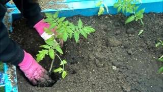 Planting Tips For Great Tomatoes! ~ Homesteading Ways