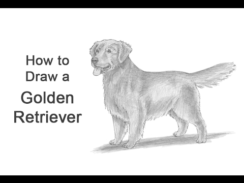 How To Draw A Dog (Golden Retriever)