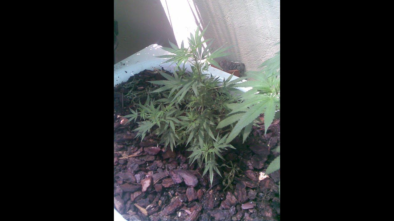 Como cuidar marihuana las primeras semanas youtube - Como cuidar las hortensias de exterior ...