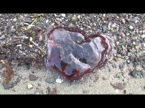 Dead Jellyfish On The Beach