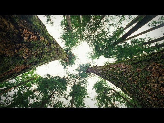 How trees talk to each other | Suzanne Simard