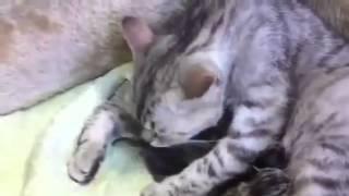 Прикольные кошки кошка вылизывает своих котят  Очень Забавно смотреть!!