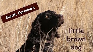 The Story of the Boykin Spaniel