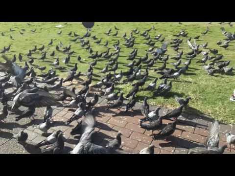 Savage Pigeons on Durban Beachfront.