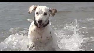 Dushi The Dog: A Lemon Spotted Dalmatian